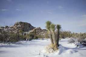 joshua tree-landscape-scenic-winter-snow